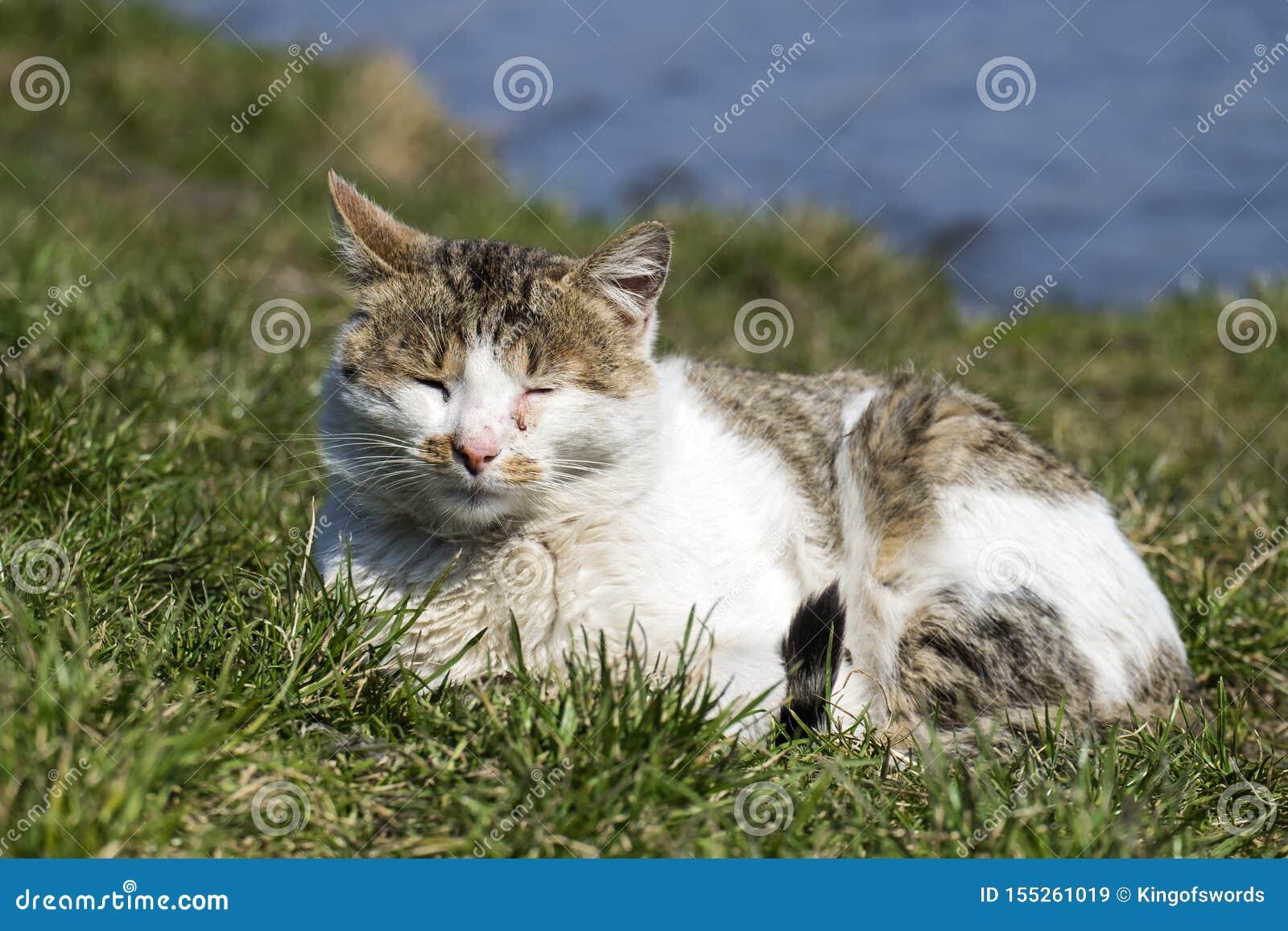 El gato con los ojos de una conjuntivitis toma el sol en el sol que miente en la hierba verde