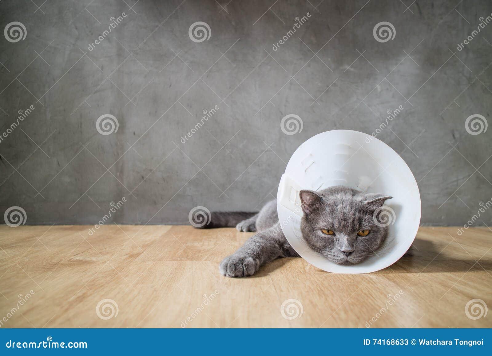 El gato enfermo con el cuello del cono del embudo lo previene rasguño su oído