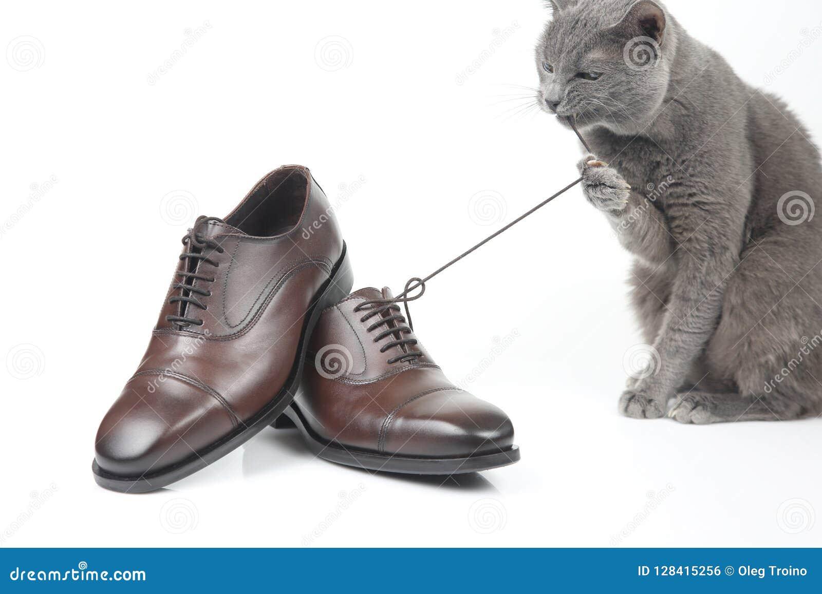 El gato gris juega con un zapato del marrón del ` s de los hombres del cordón de la obra clásica en el CCB blanco