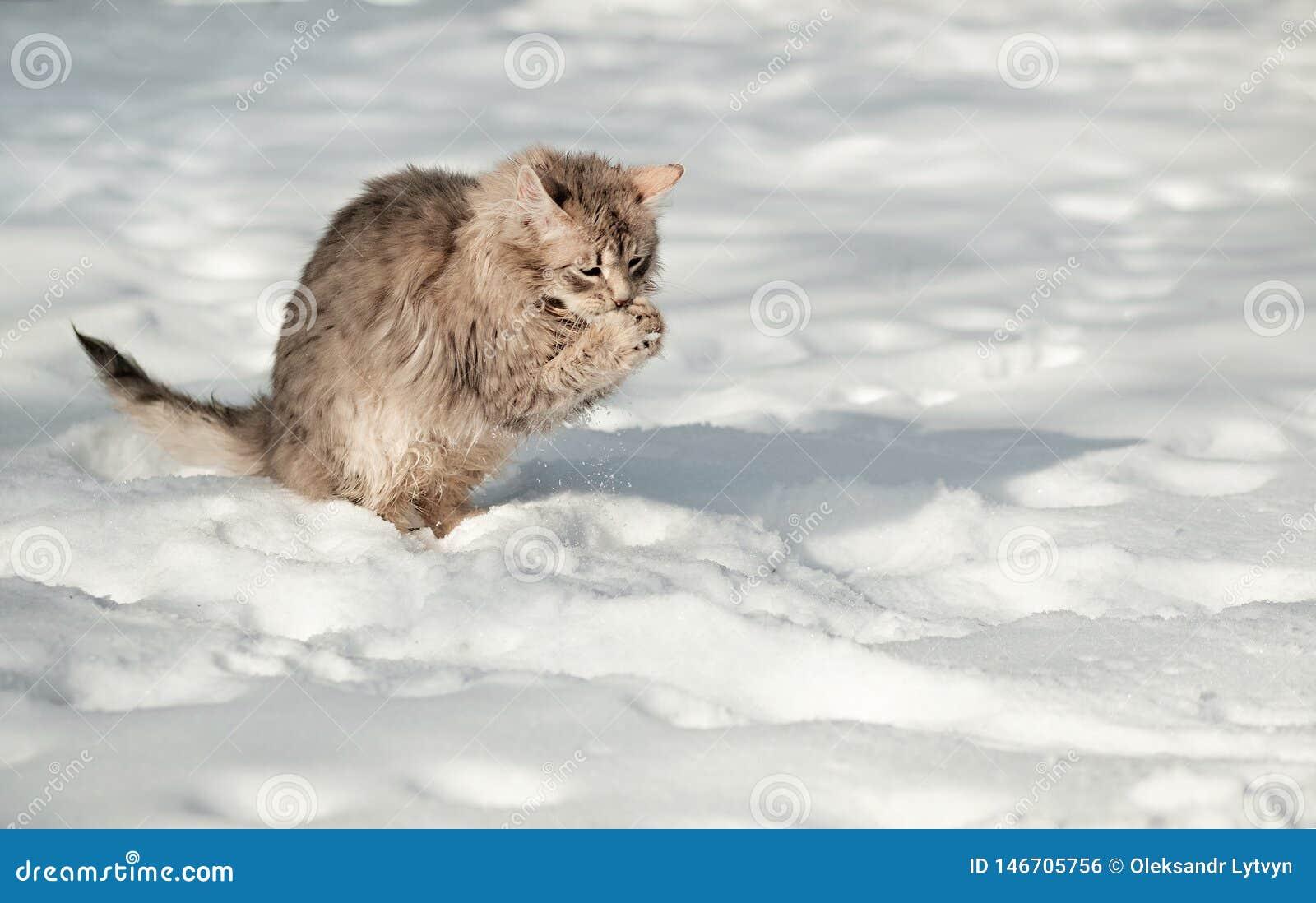 El gato gris mullido joven come nieve