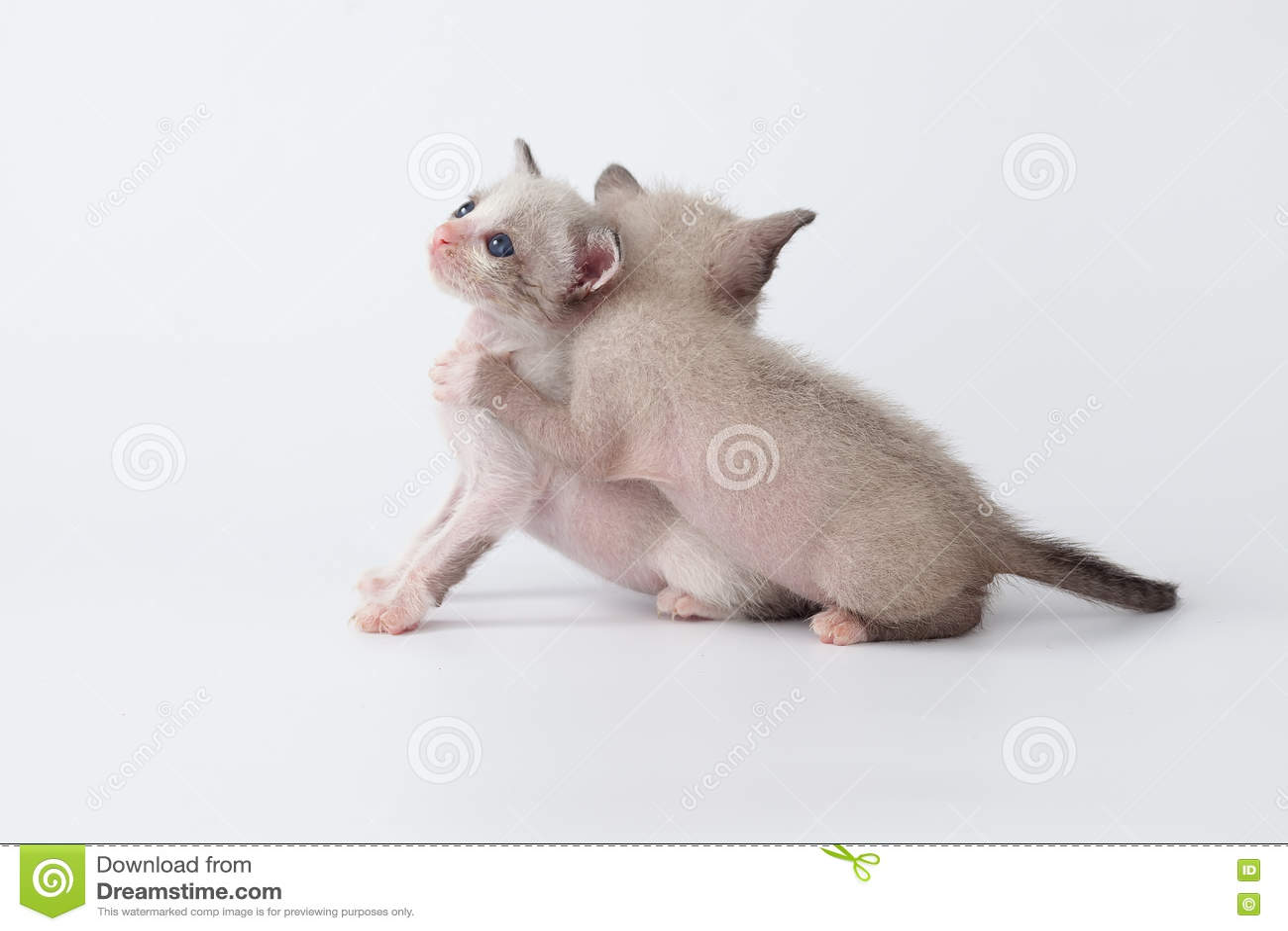 El Gato Lindo Del Gatito Se Relaja En El Fondo Blanco Foto de archivo