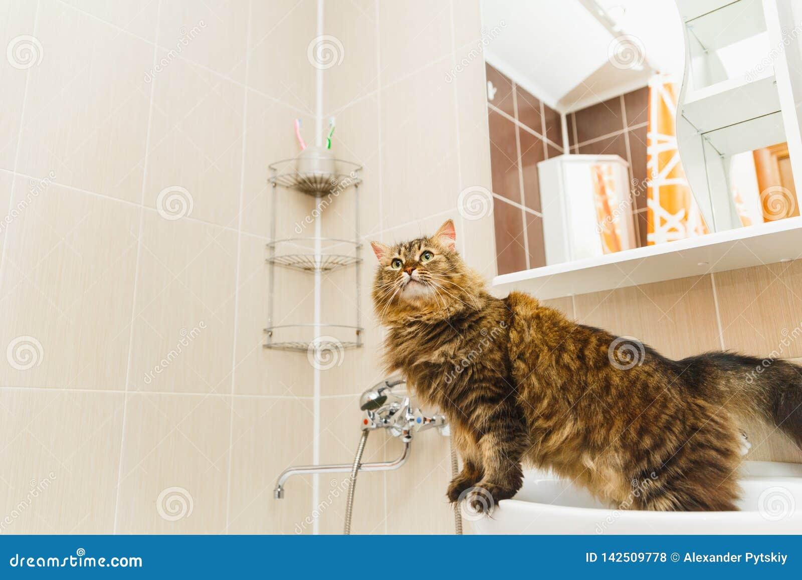El gato mullido se coloca en un lavabo blanco en el cuarto de baño y mira para arriba