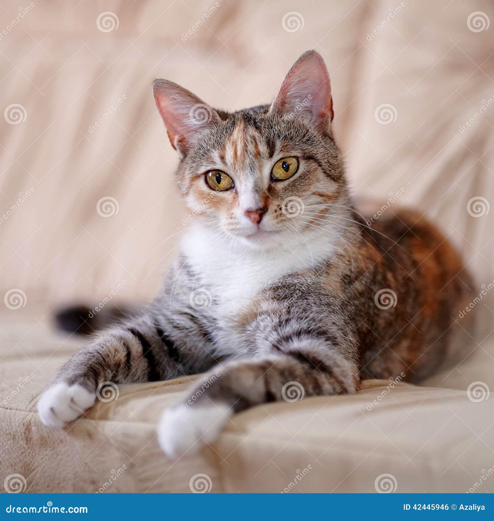 El gato multicolor con los ojos del amarillo miente en un sofá