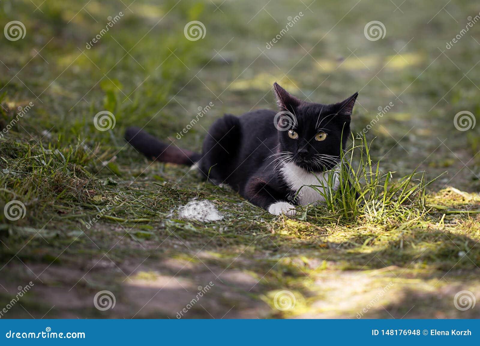 El gato negro está cazando en el jardín