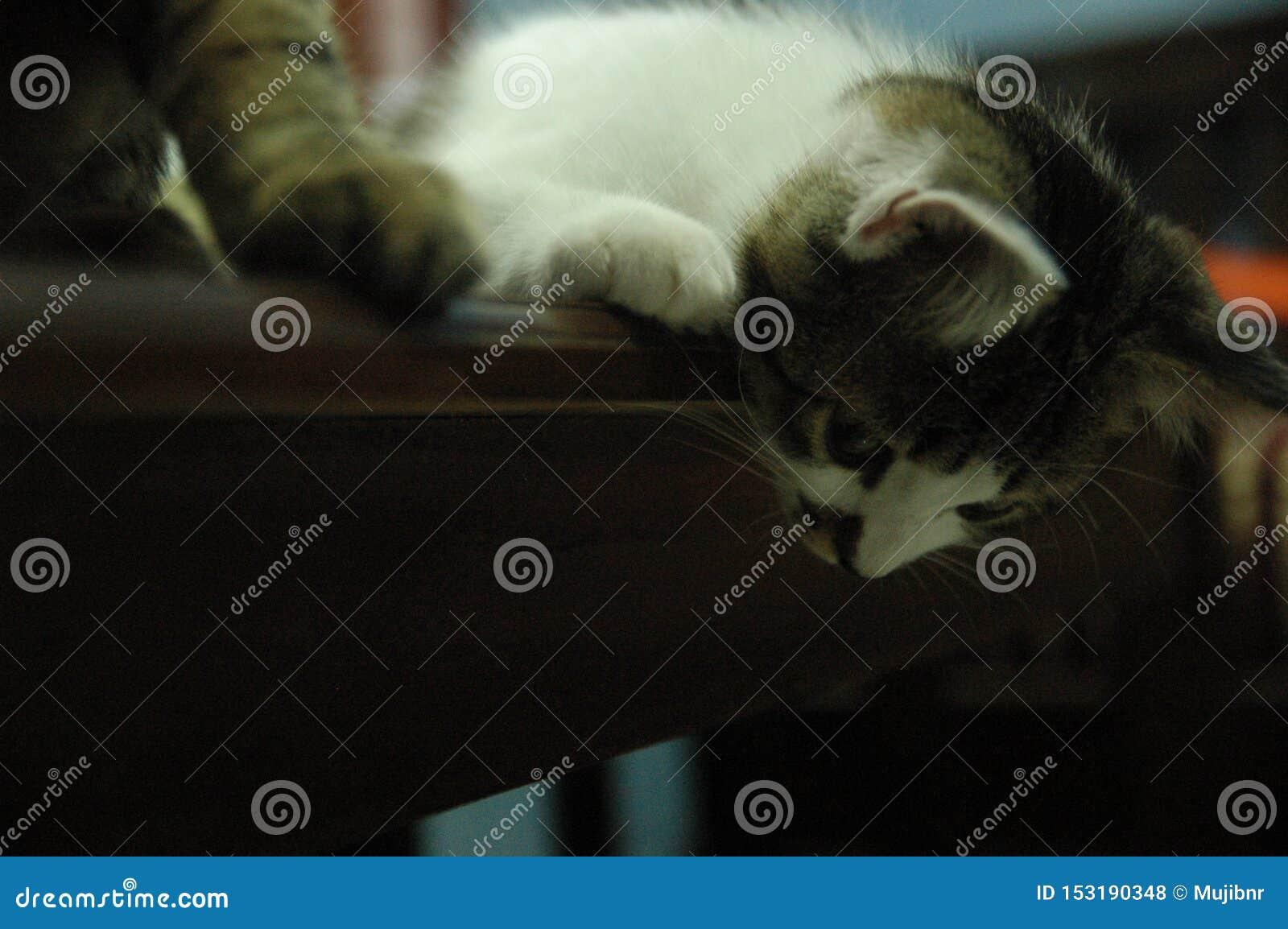 El gato que mira abajo de animal doméstico mullido está mirando curiosamente