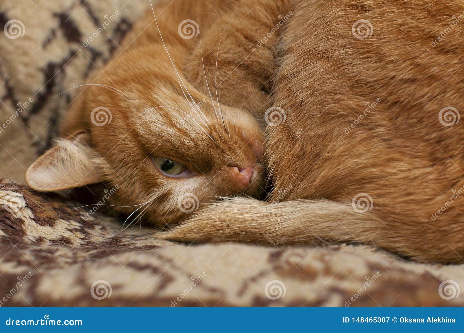 El gato rojo está durmiendo Mirada con un ojo Primer