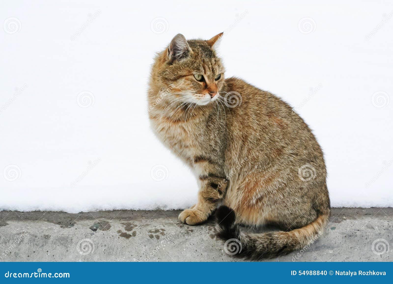 El gato rojo está mirando Las impresiones mojaron las patas