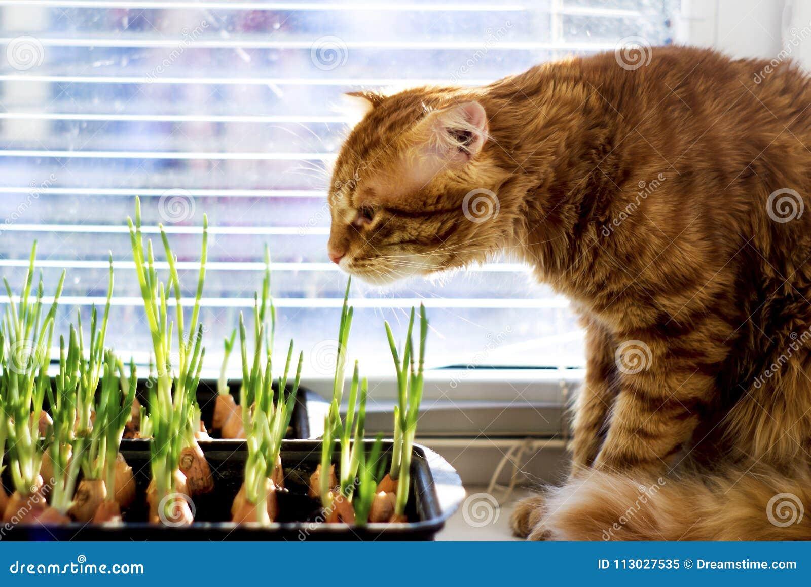 El gato rojo mira y huele las cebollas verdes de los jóvenes