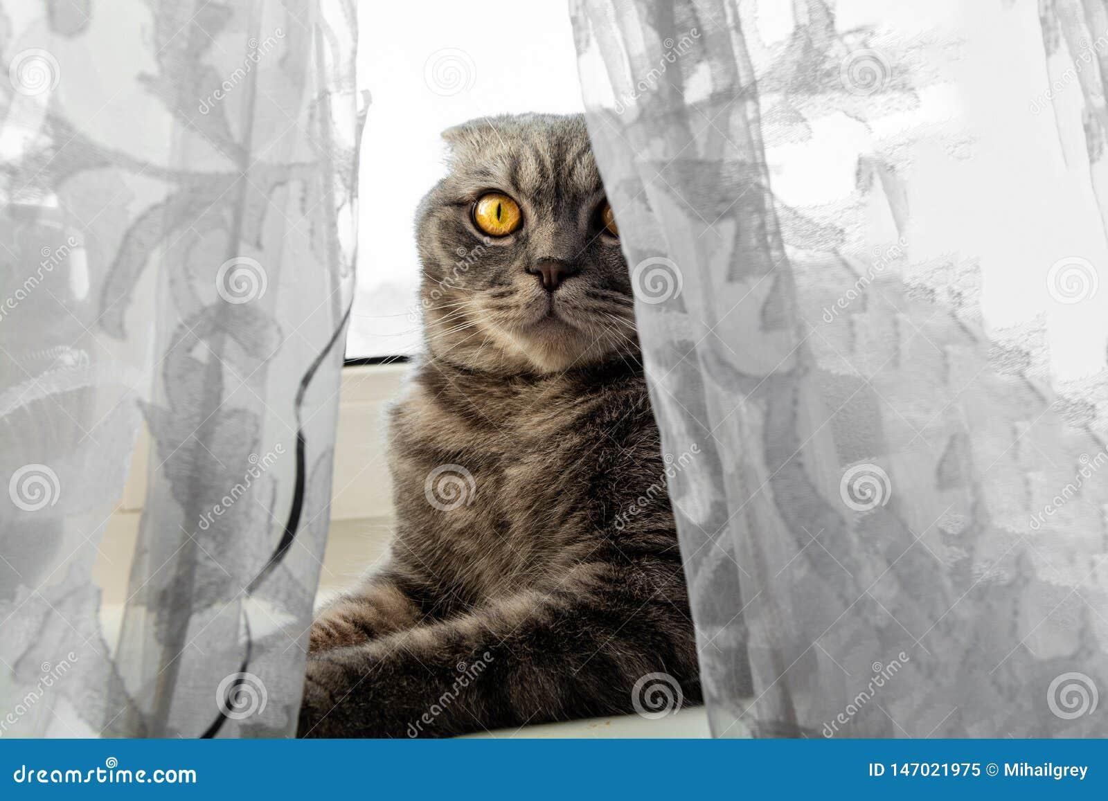 El gato se está sentando en el alféizar detrás de la cortina