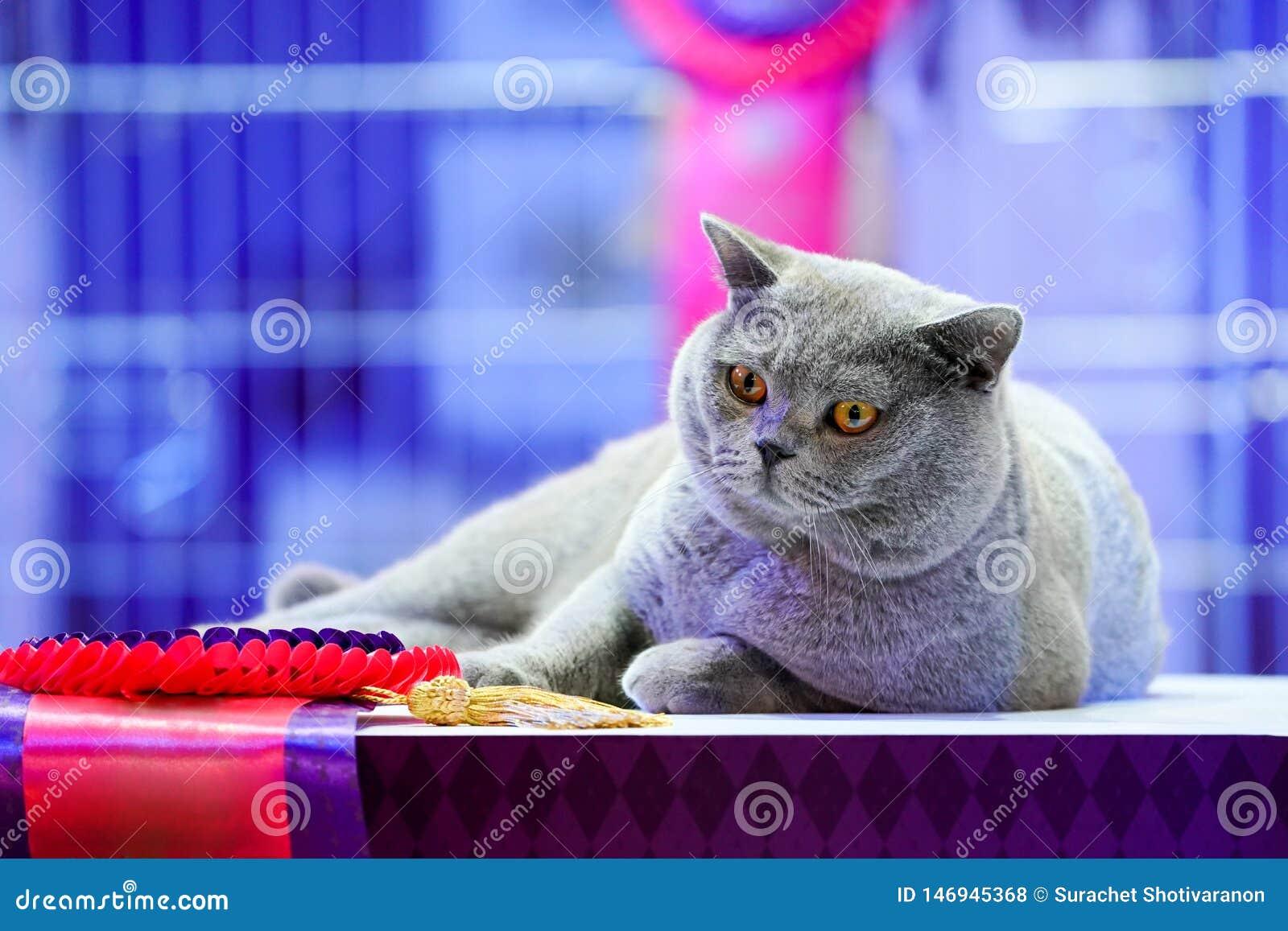 El gato tailand?s de Korat con los ojos amarillos de la piel gris Es el ganador de la competencia hermosa del gato del torneo