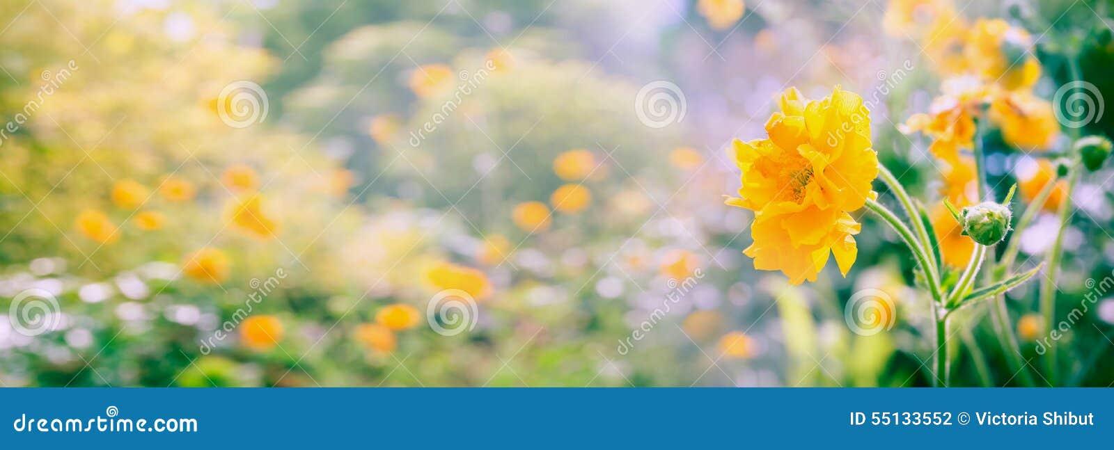 El Geum amarillo florece panorama en el fondo borroso del jardín o del parque del verano, bandera