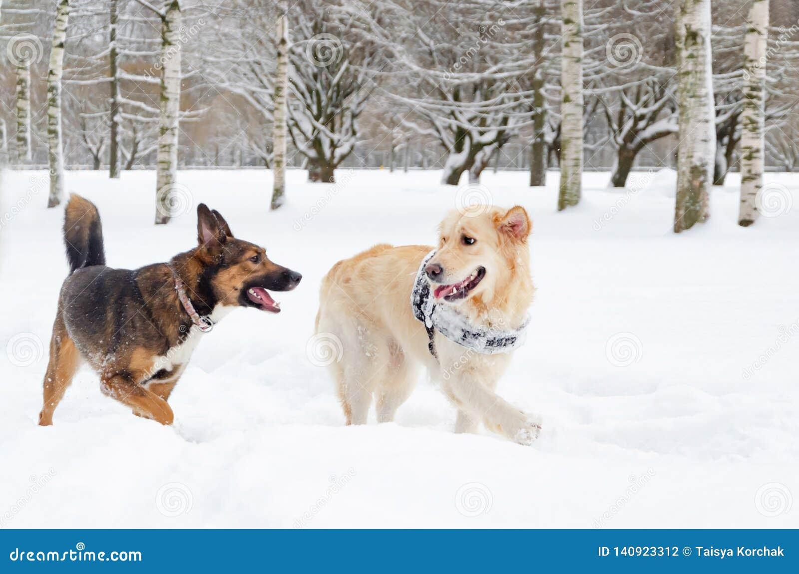 El golden retriever Juego de los perros con uno a