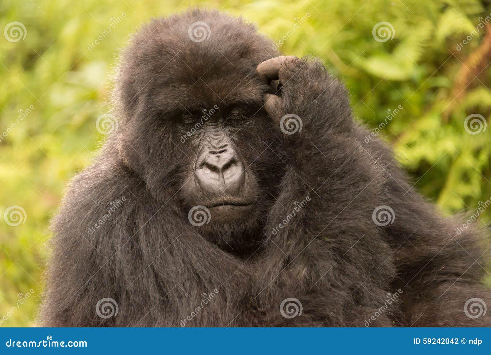 Download El Gorila Rasguña Su Cabeza Con Los Ojos Cerrados Foto de archivo - Imagen de naturalizado, árboles: 59242042