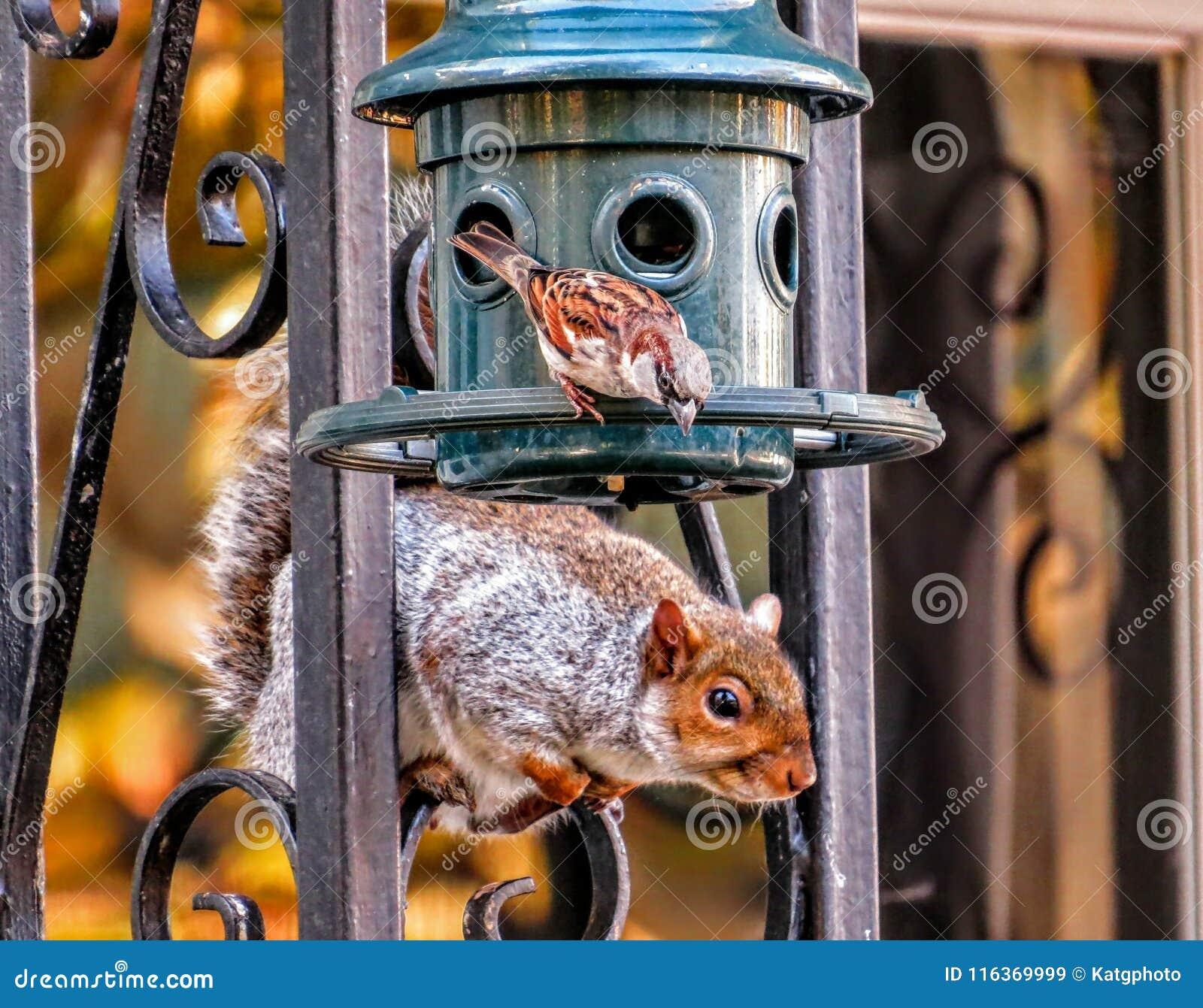El gorrión resuelve la ardilla en un alimentador