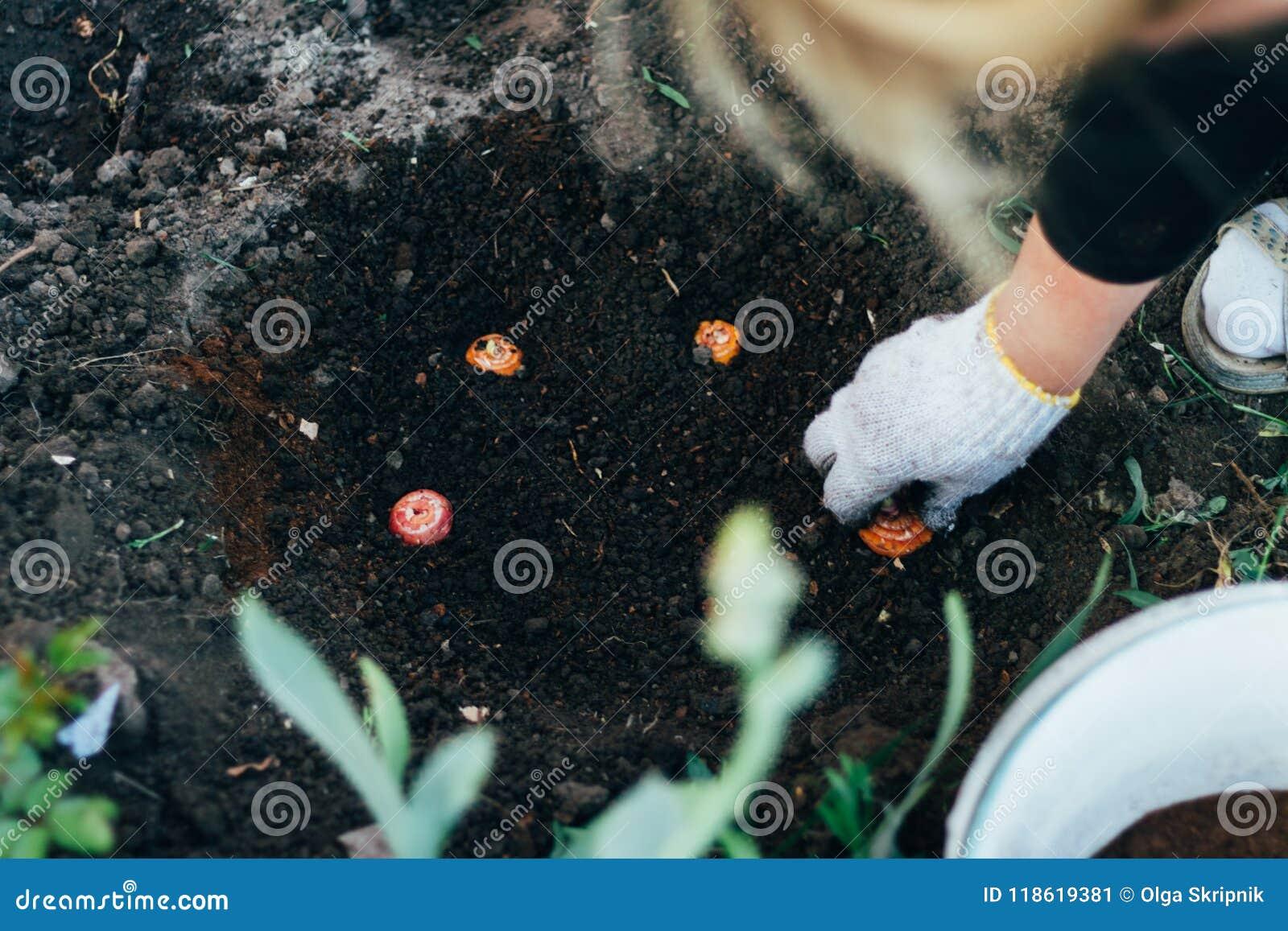 El granjero de la mujer toma el cuidado de las plantas en la plantación farming añada el fertilizante