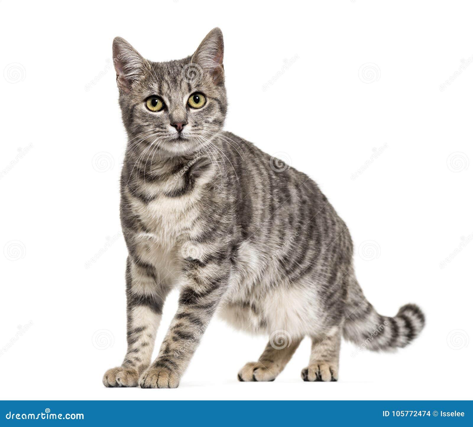 El gris peló la situación del gato de la mezclado-raza, aislada
