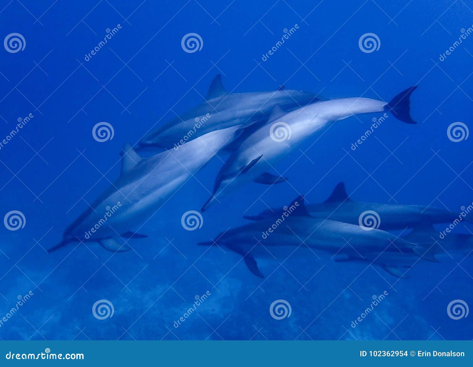 El grupo de delfínes del hilandero nada de cerca en agua azul