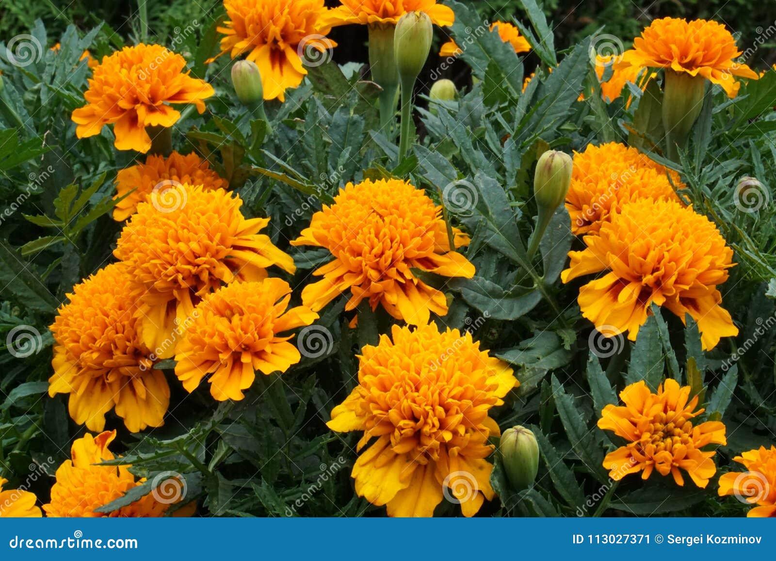 El grupo de naranja florece Tagetes