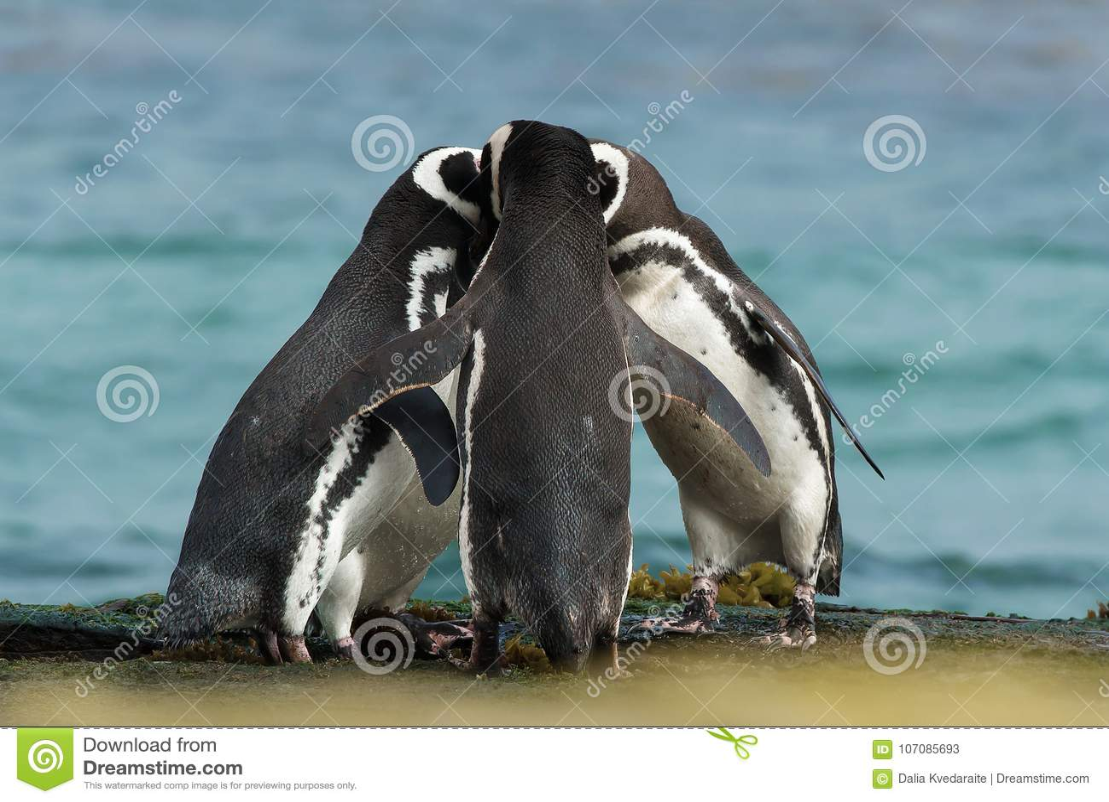 El grupo de pingüinos de Magellanic recolecta junto en la costa rocosa