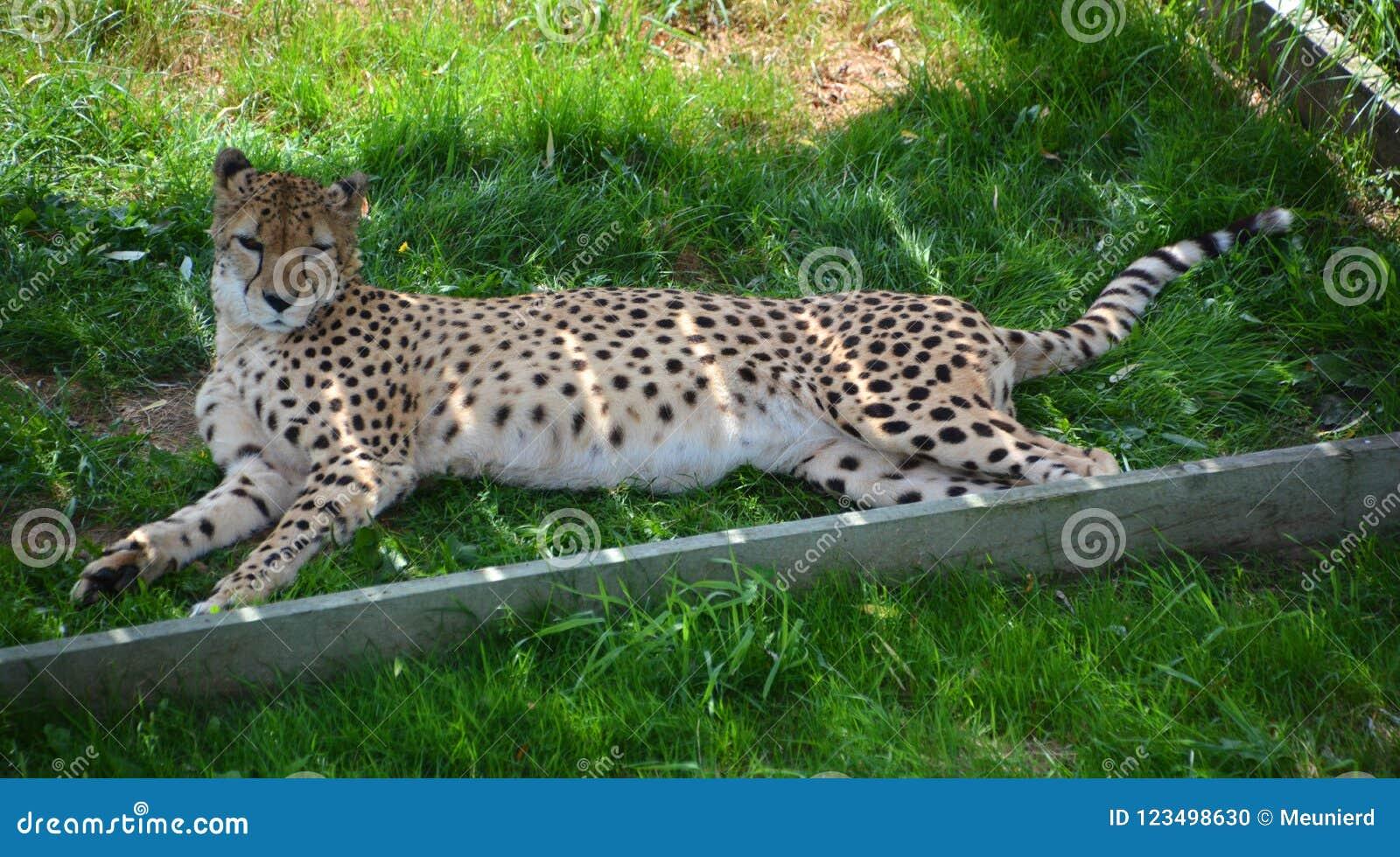 El guepardo es un felino de gran tamaño