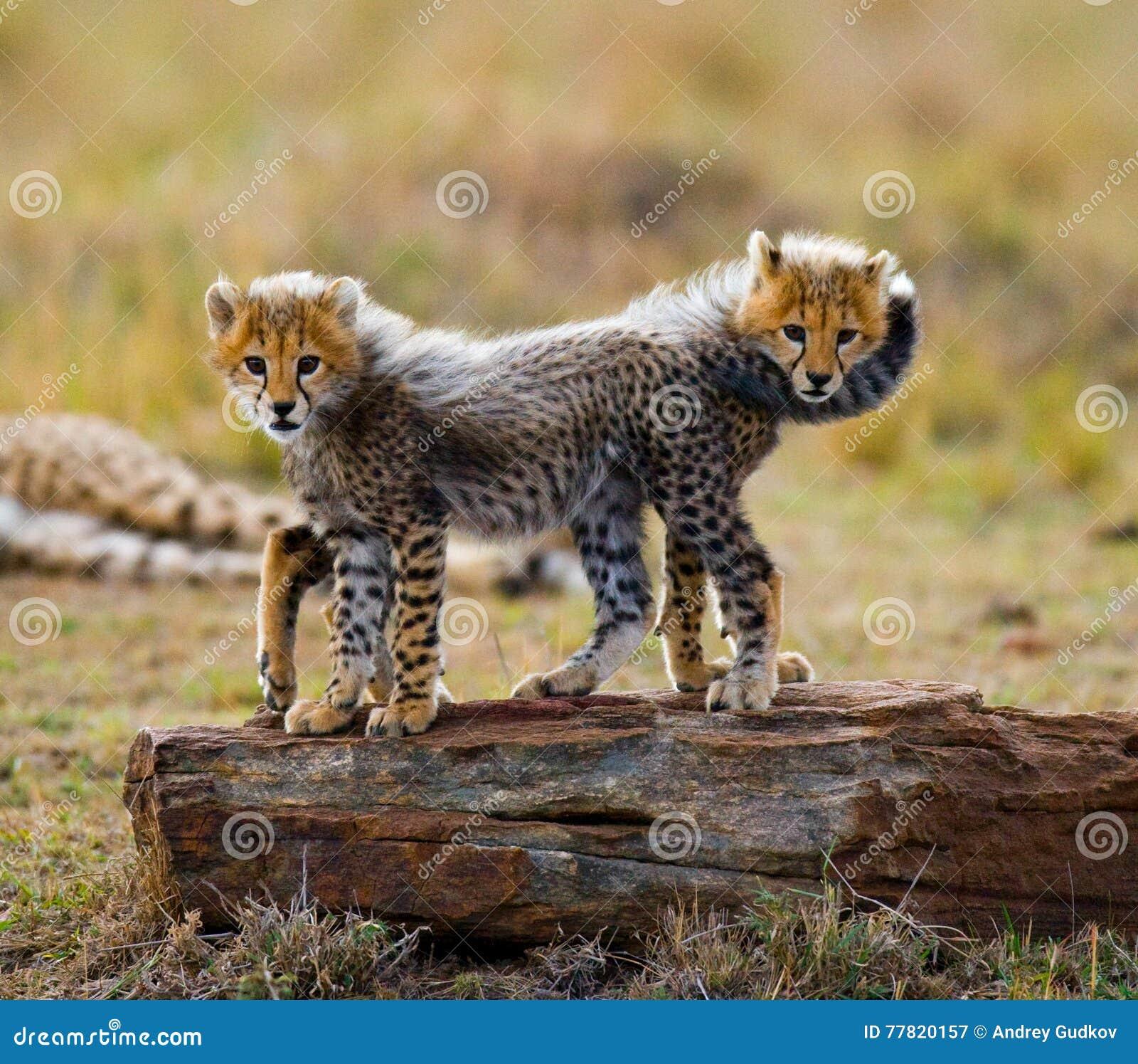 El guepardo pare el juego con uno a en la sabana kenia tanzania África Parque nacional serengeti Maasai Mara