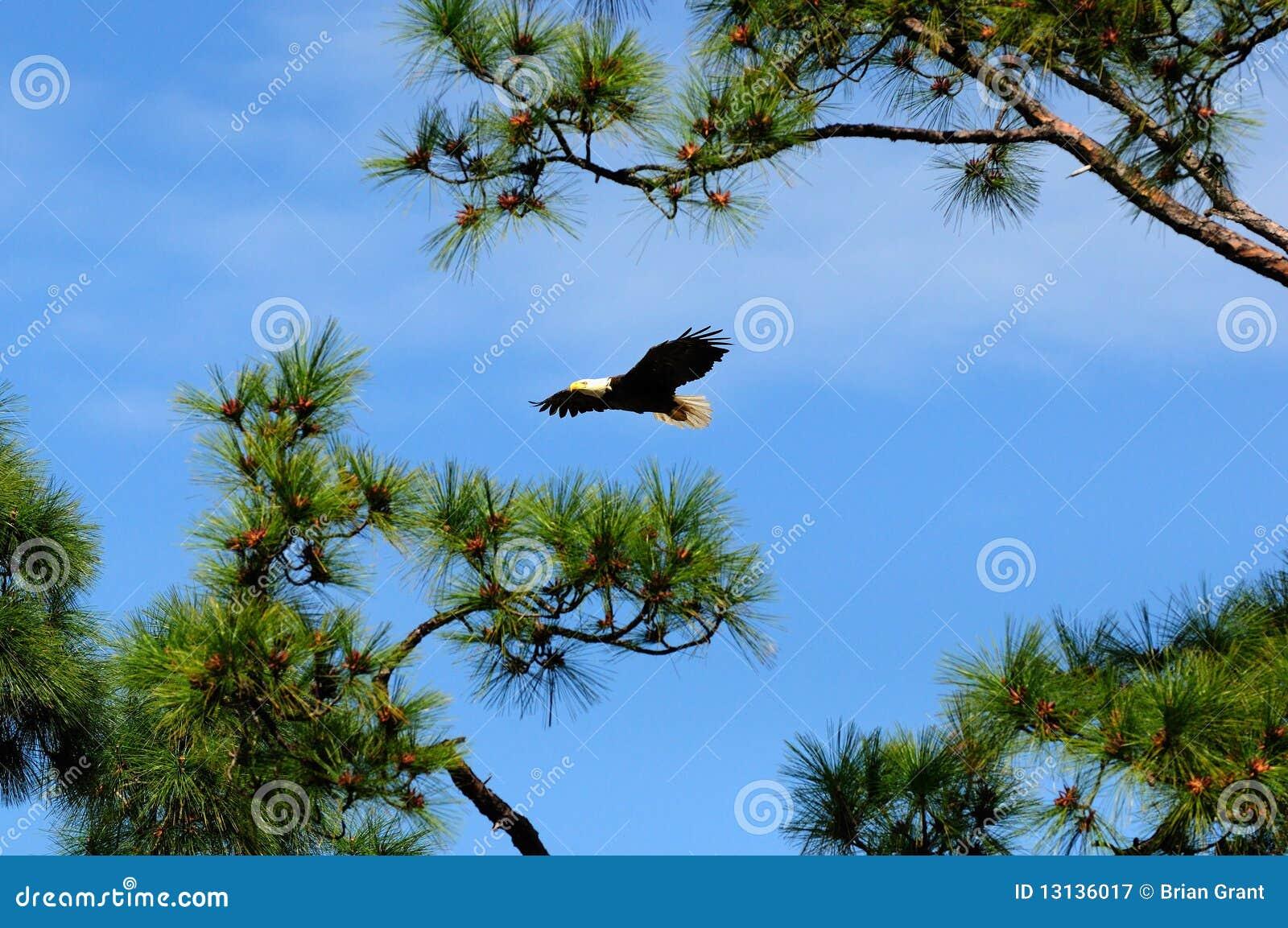 El guila calva vuela en maderas de pino fotograf a de - Maderas el pino ...