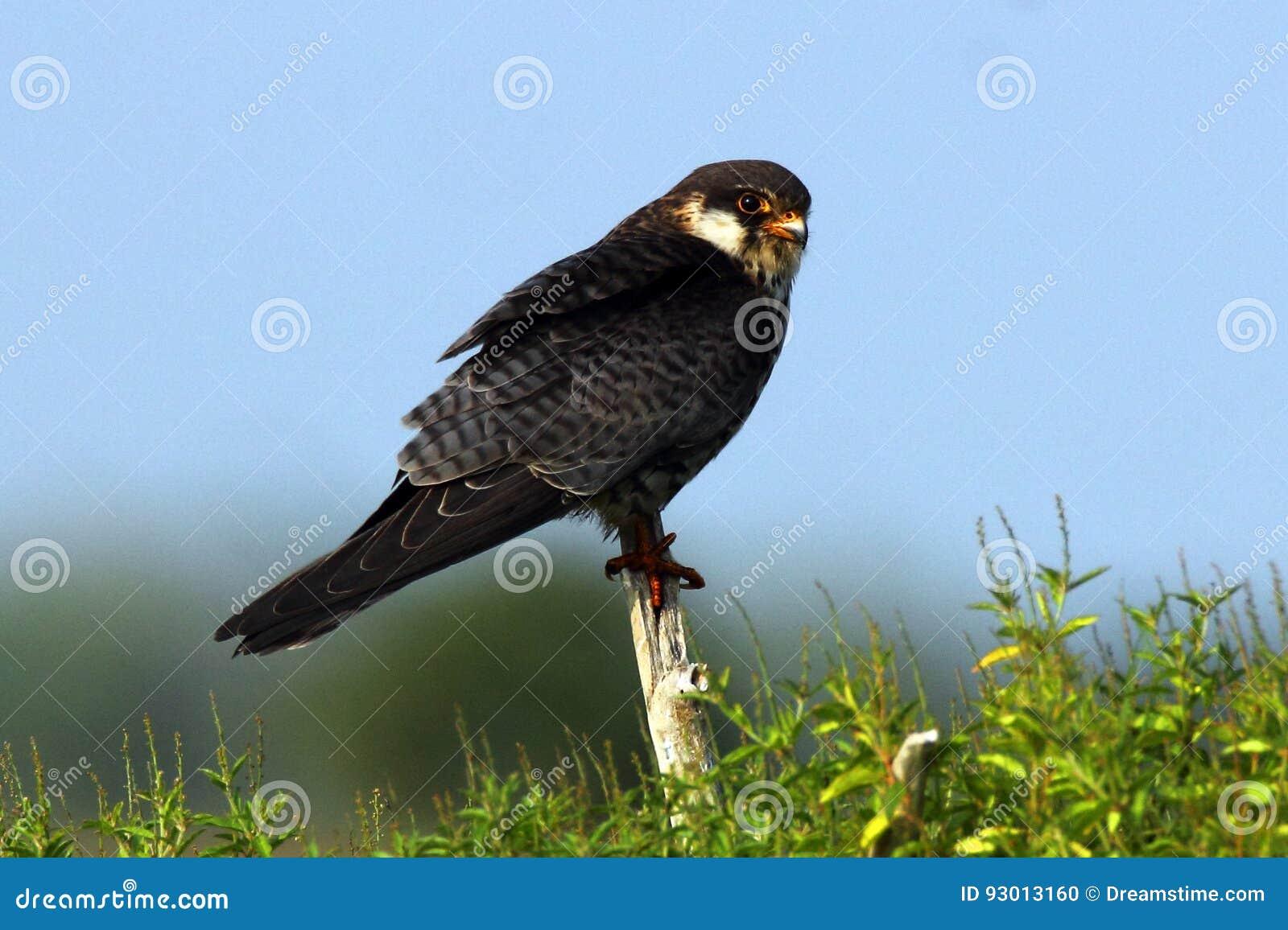 El halcón de Amur es un pequeño rapaz de la familia del halcón Cría en Siberia del sudeste y China septentrional antes de emigrar