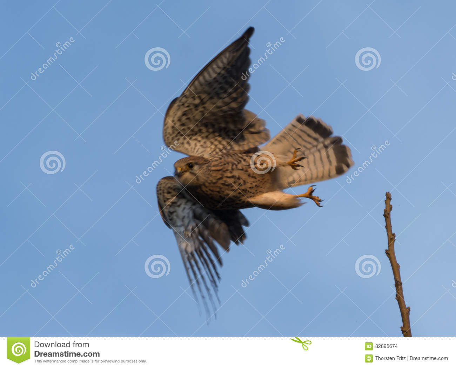 El halcón está sacando