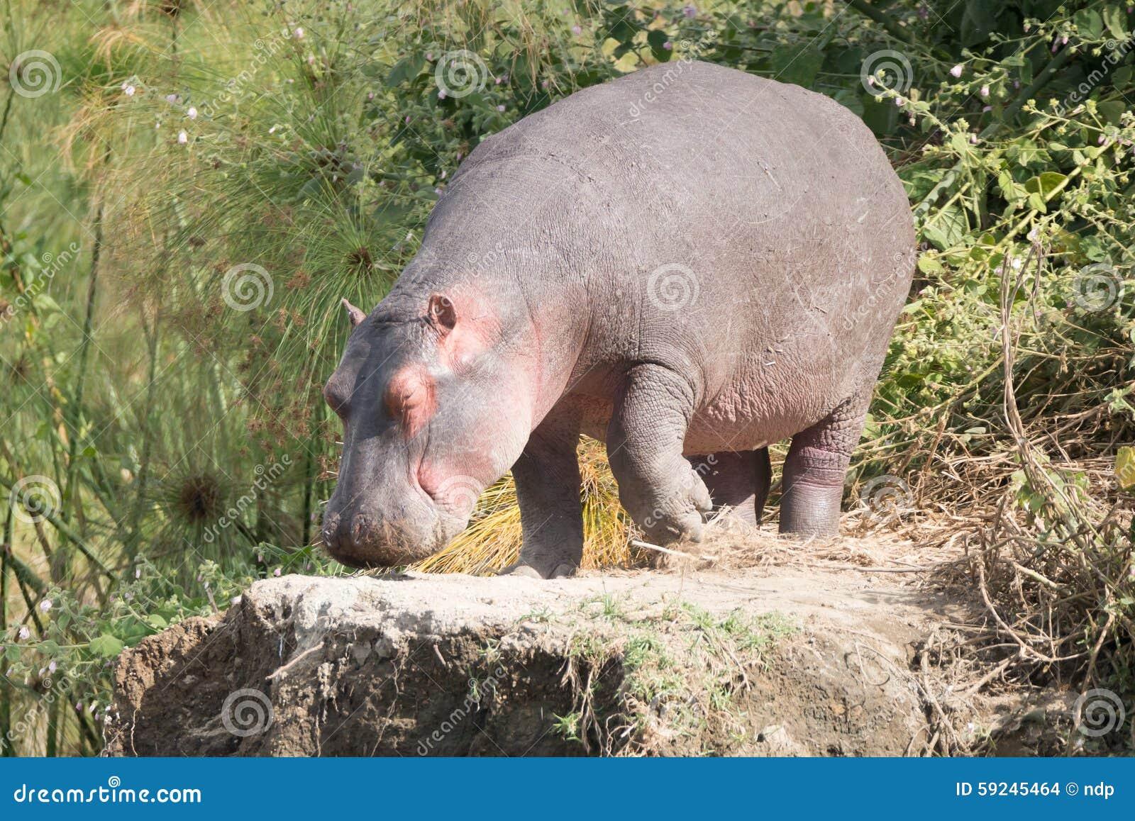 Download El Hipopótamo Camina Encendido Para Oscilar Entre Arbustos Foto de archivo - Imagen de roca, hippopotamus: 59245464