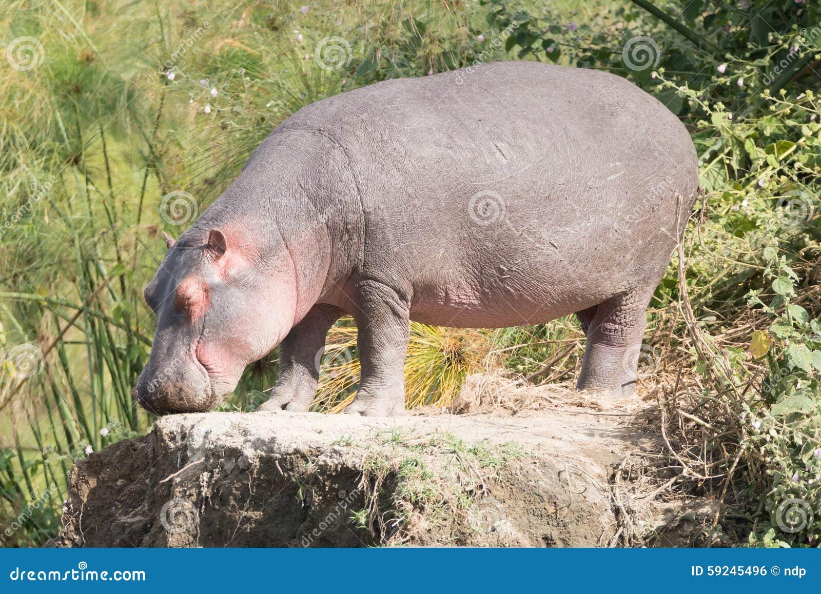 Download El Hipopótamo Con Los Ojos Cerrados Se Coloca En Roca Foto de archivo - Imagen de áfrica, hippopotamus: 59245496