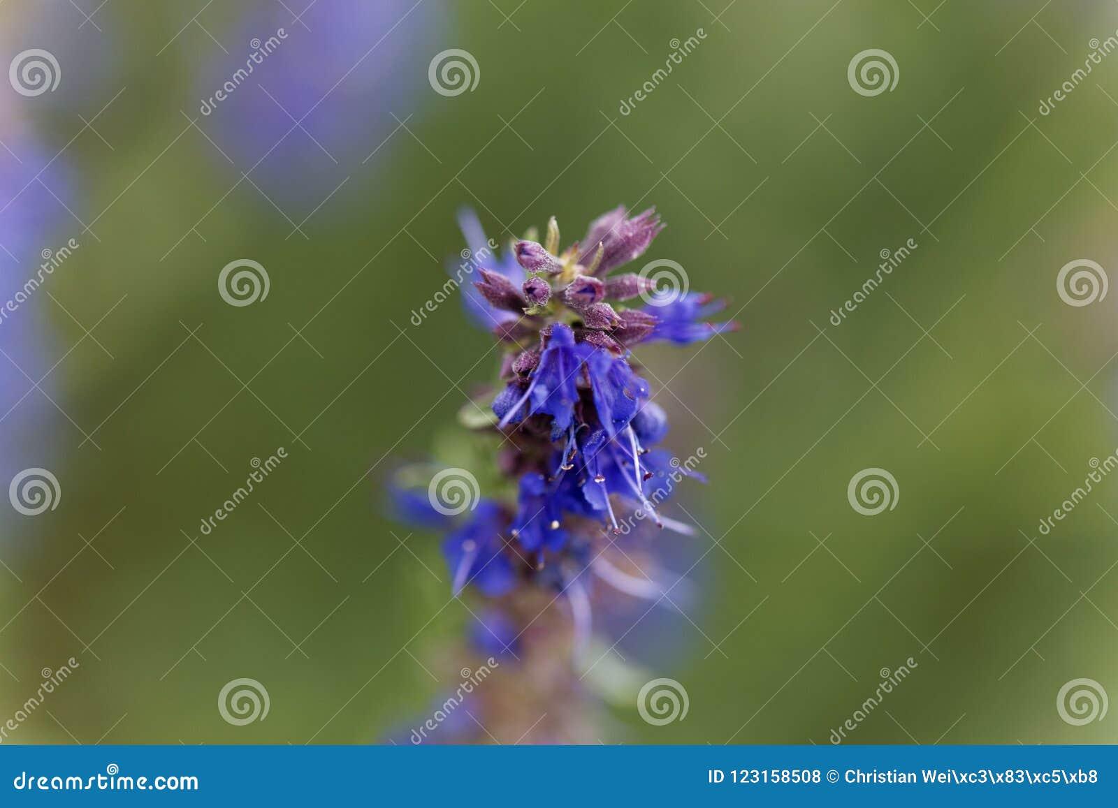 El Hisopo florece officinalis del Hyssopus