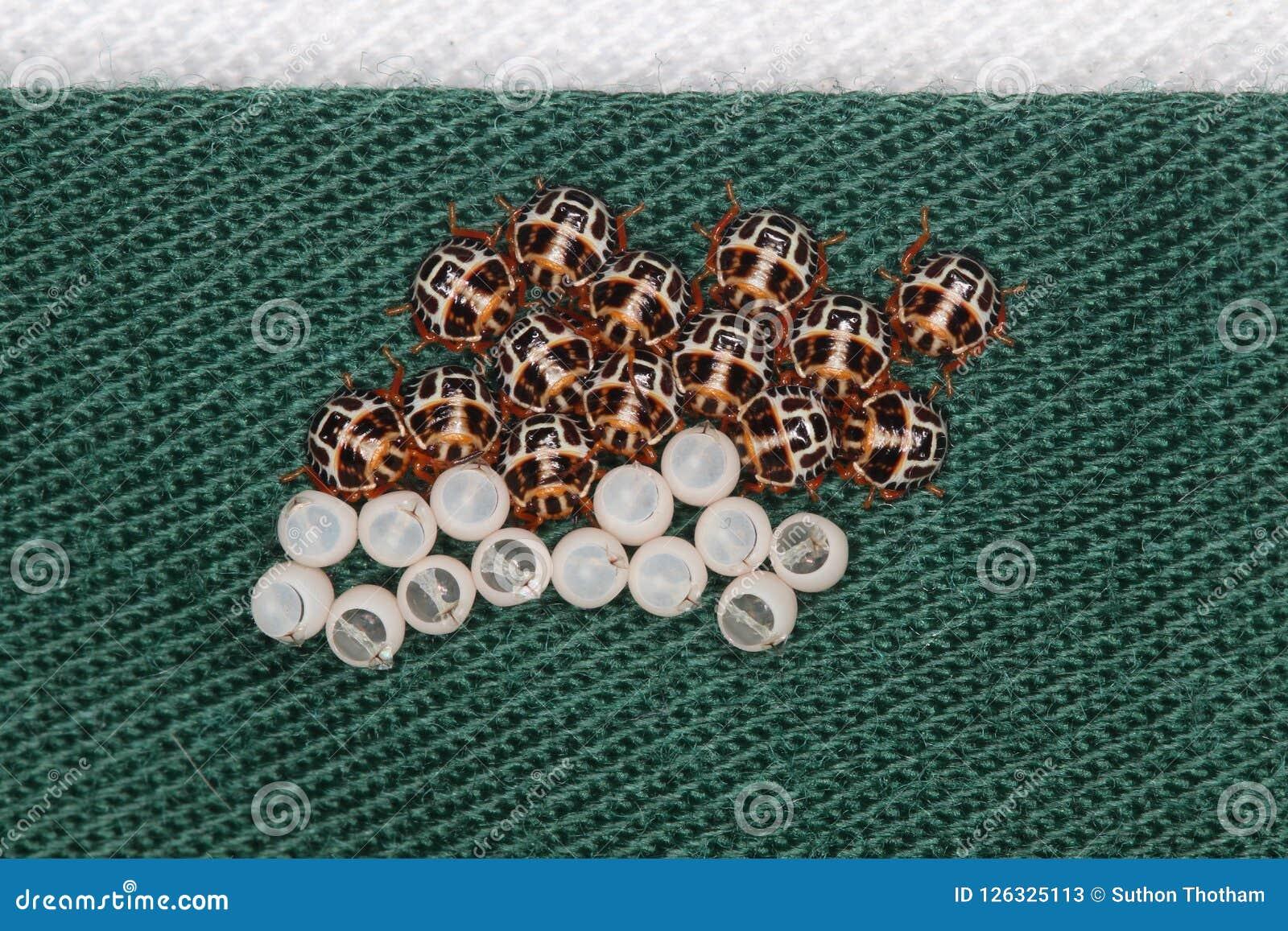 El huevo de Brown marmorated hatchlings del insecto del hedor en el palillo