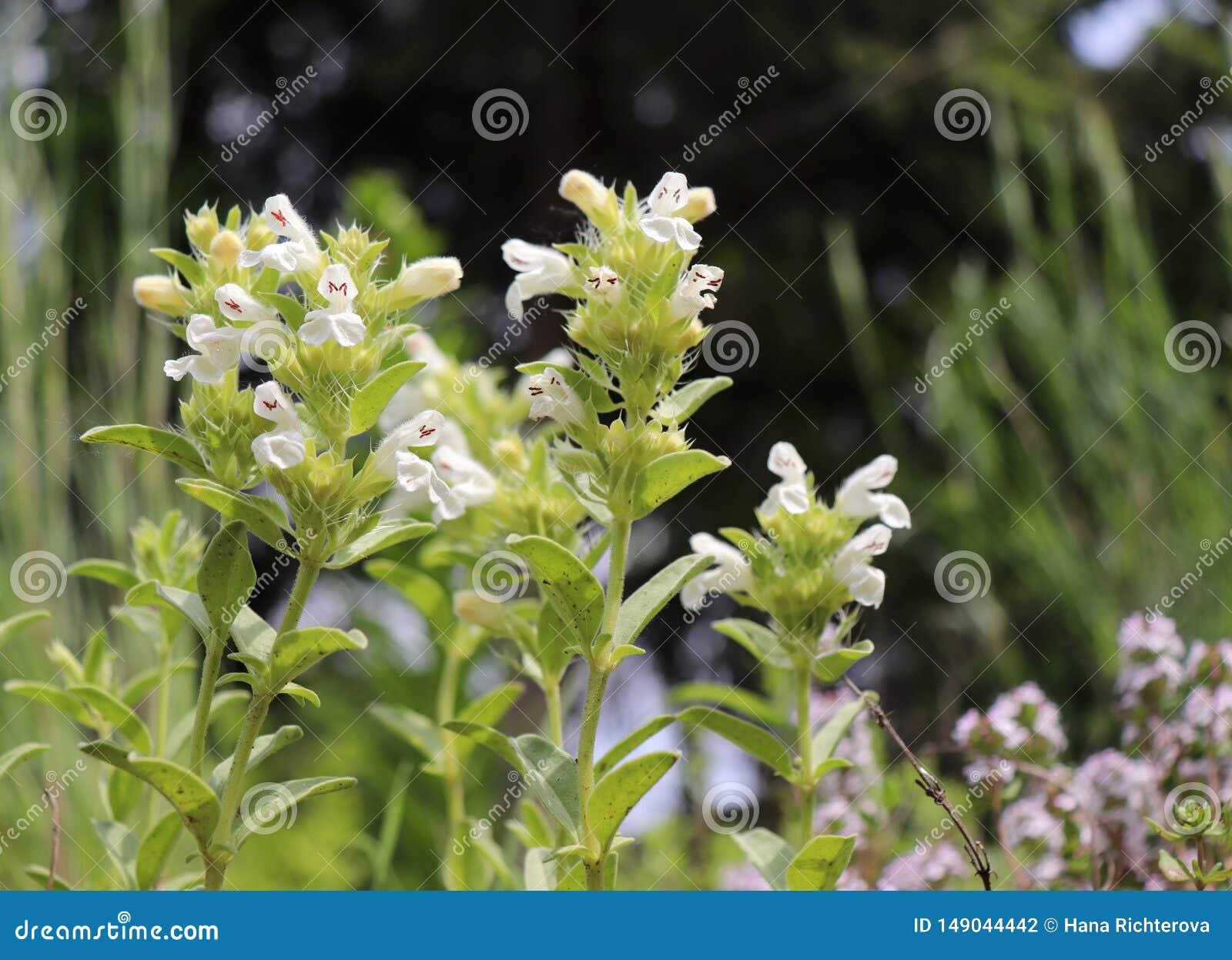 El hyssopifolia Hisopo-con hojas del Sideritis del ironwort de la montaña es un natural perenne de la hierba a las montañas al su