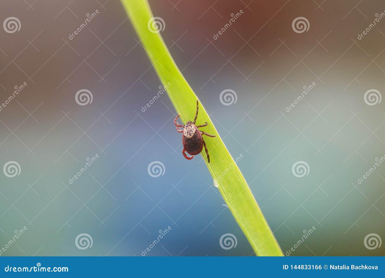 El insecto contagioso peligroso un ácaro que intoxica se arrastra en la hierba antes de la mordedura de la víctima