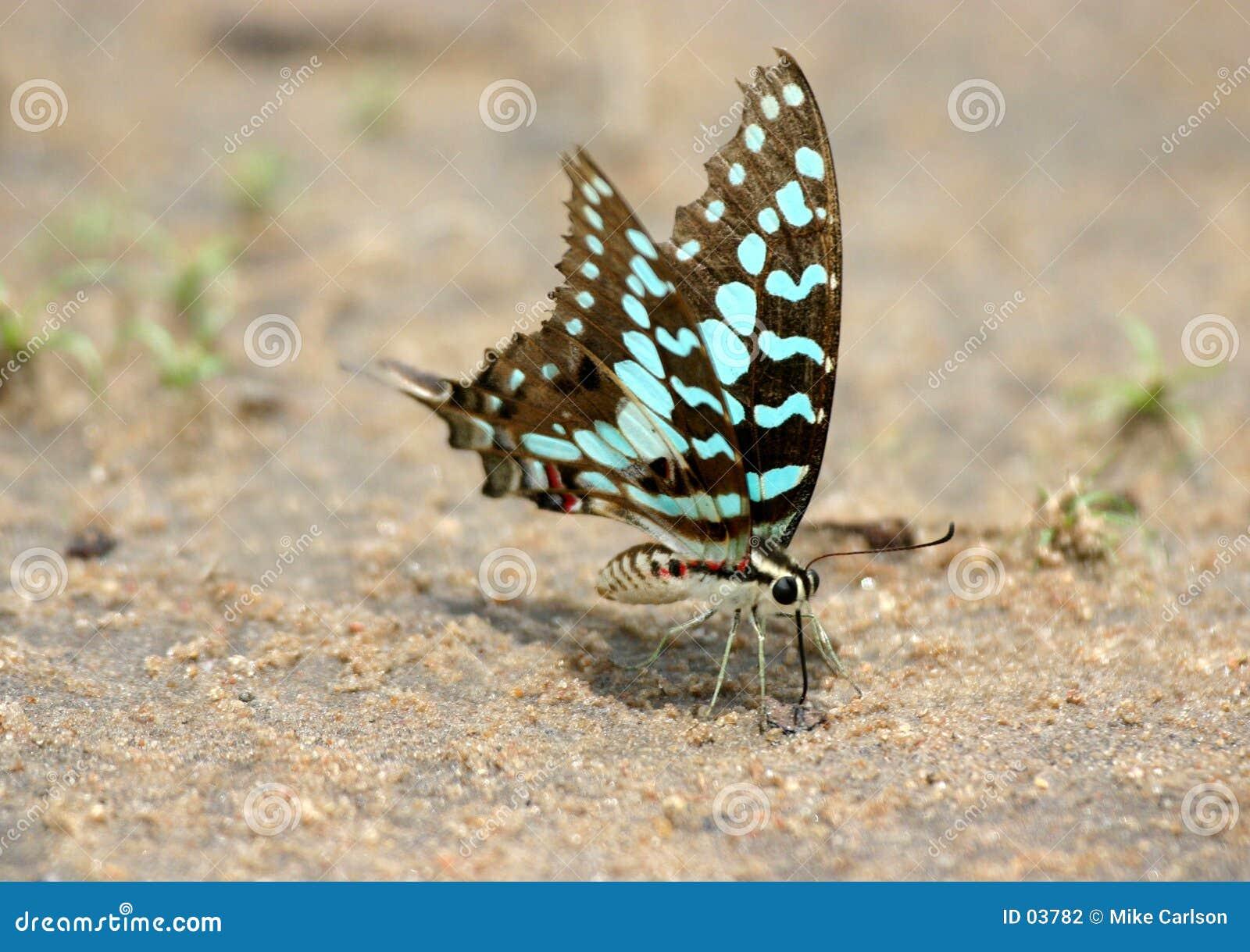 El introducir de la mariposa