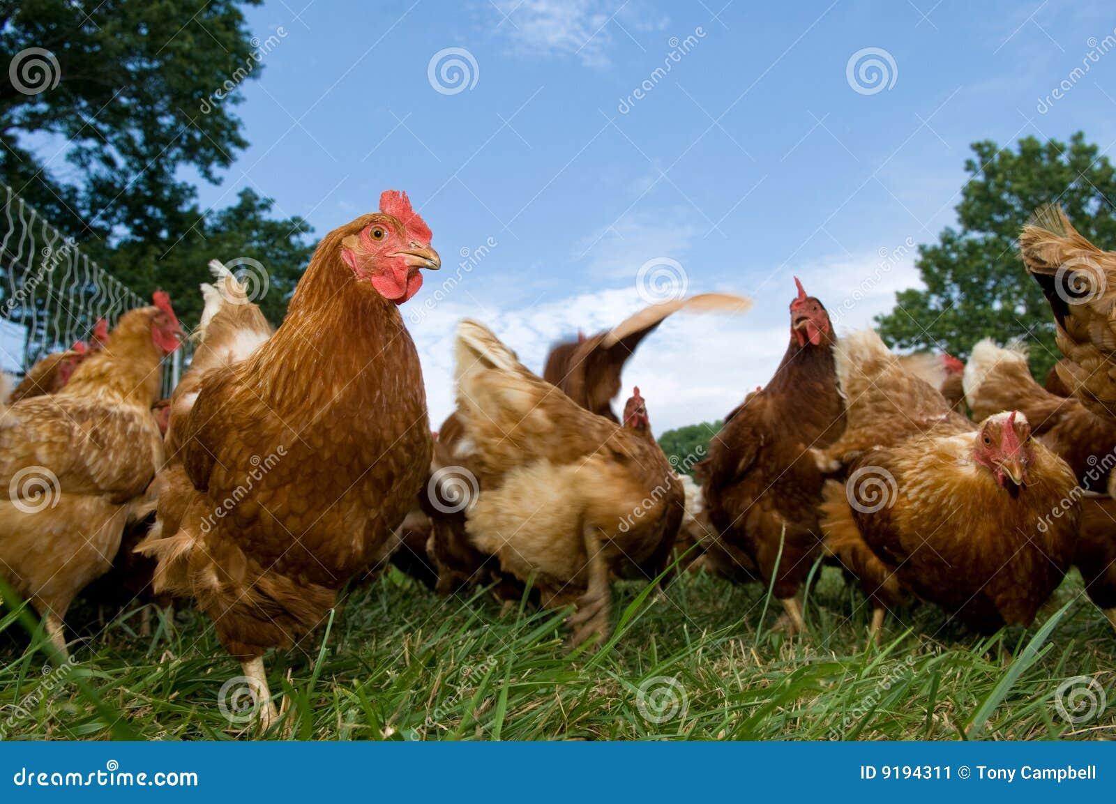 El introducir levantado pasto de los pollos
