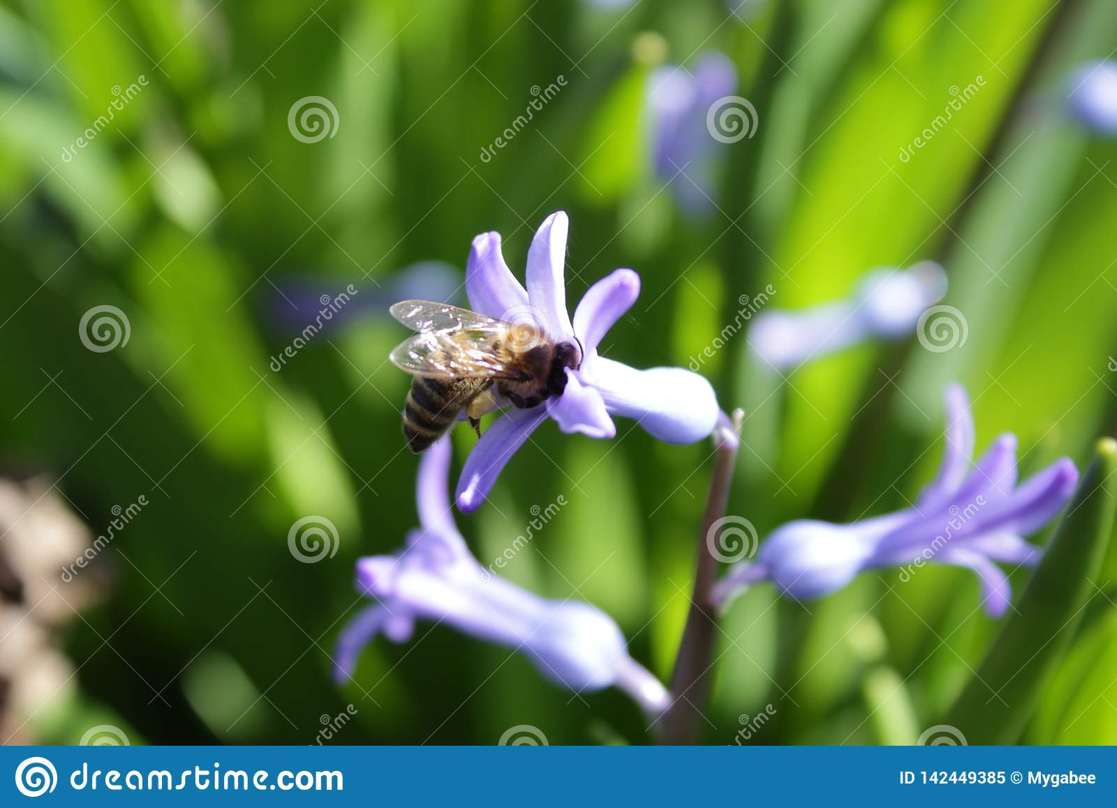 El jacinto visitó por una abeja