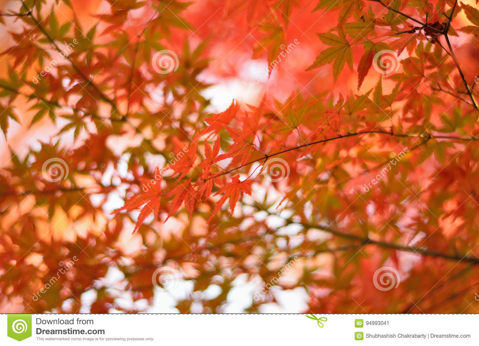 El japonés vibrante Autumn Maple deja paisaje con el fondo borroso