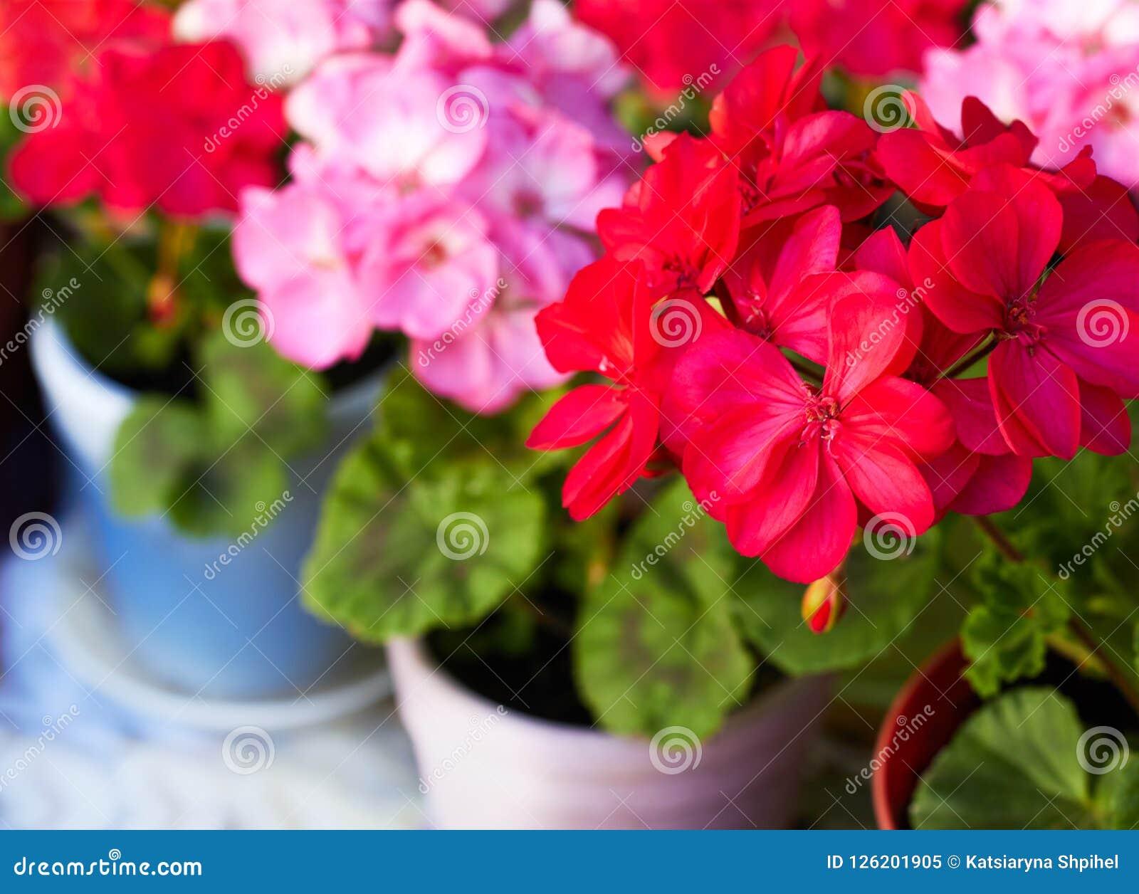 El jardín rojo y rosado del geranio florece en las macetas de la arcilla, macro