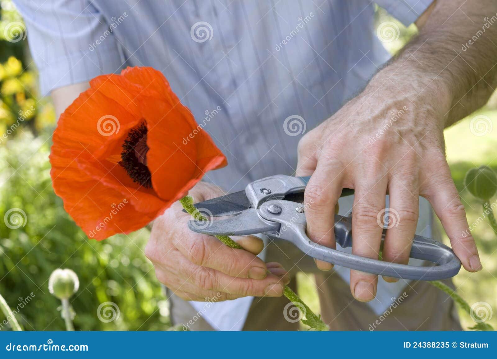 El jardinero corta la amapola foto de archivo libre de for Trabajo jardinero