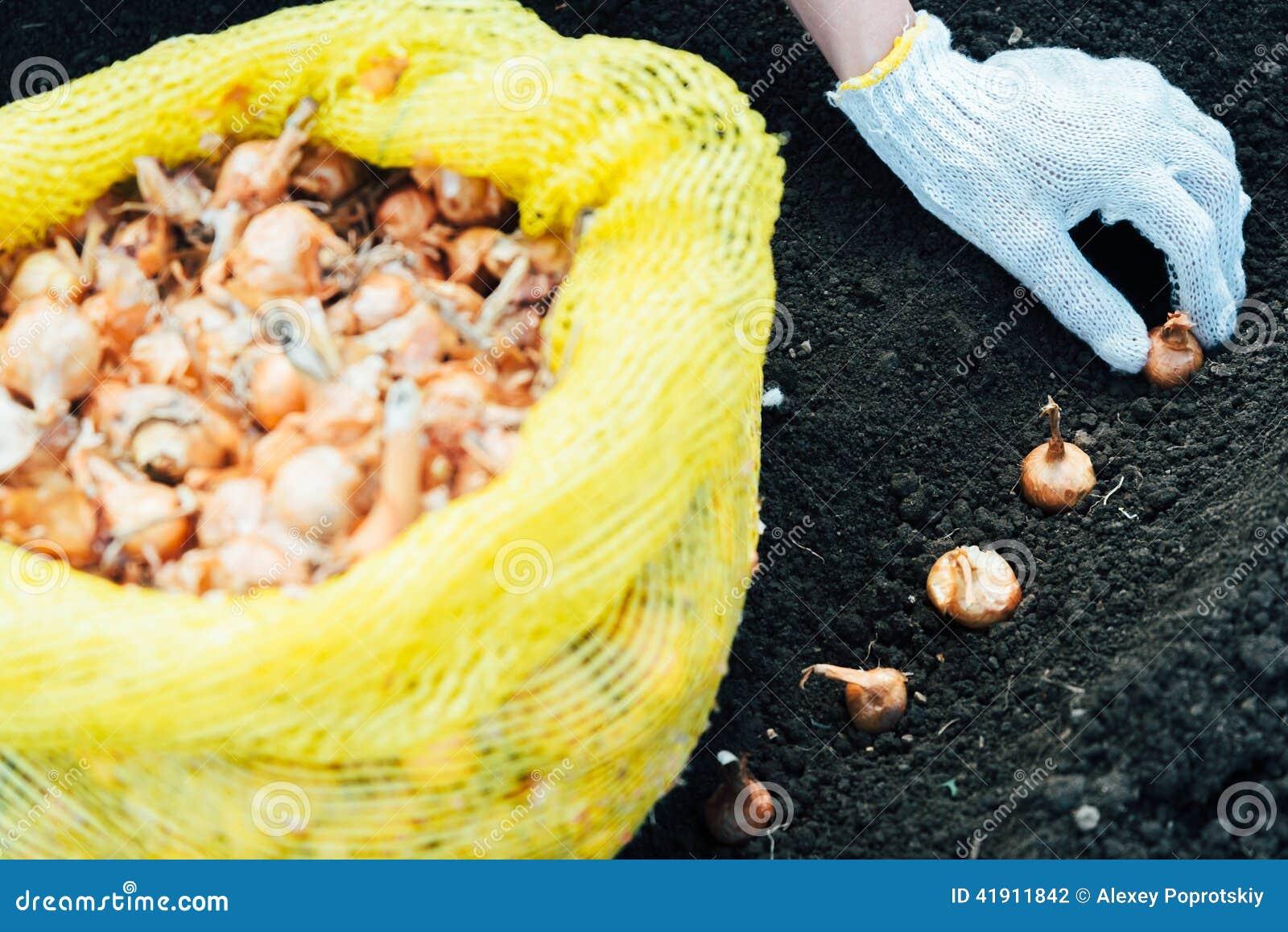 El jardinero está plantando almácigos de la cebolla