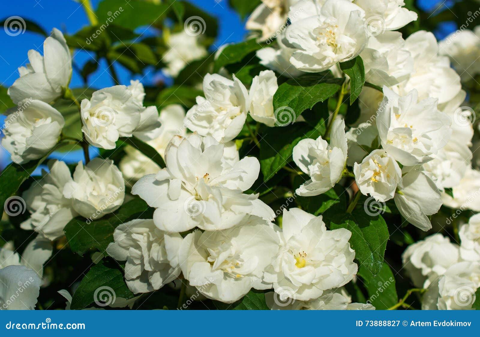 El jazm n hermoso florece la floraci n en arbusto en d a for Jazmin planta precio