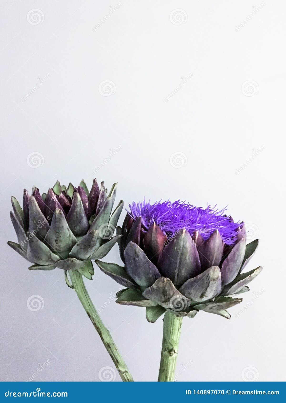 El jefe de flor de la alcachofa en un fondo gris