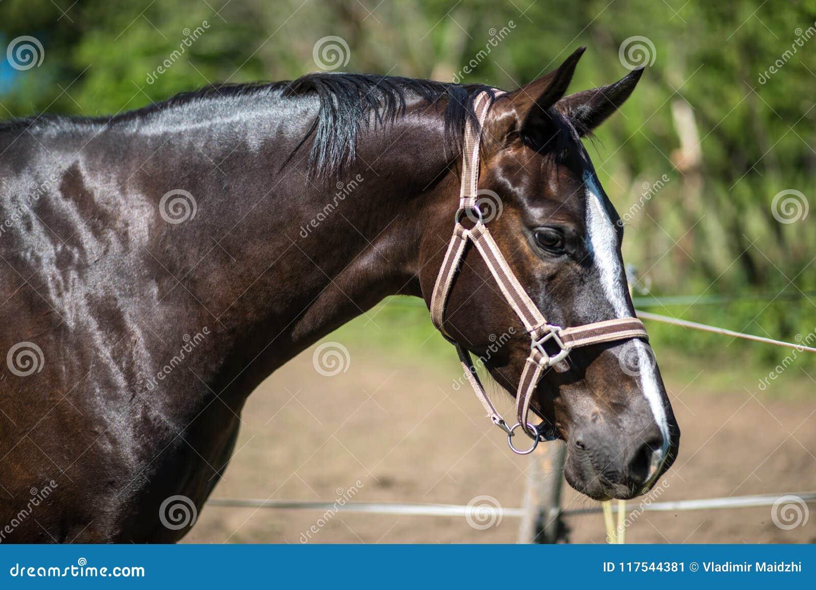 El jefe del caballo marrón de Hanoverian en el freno o del filete con el fondo verde de árboles una hierba en el día de verano so