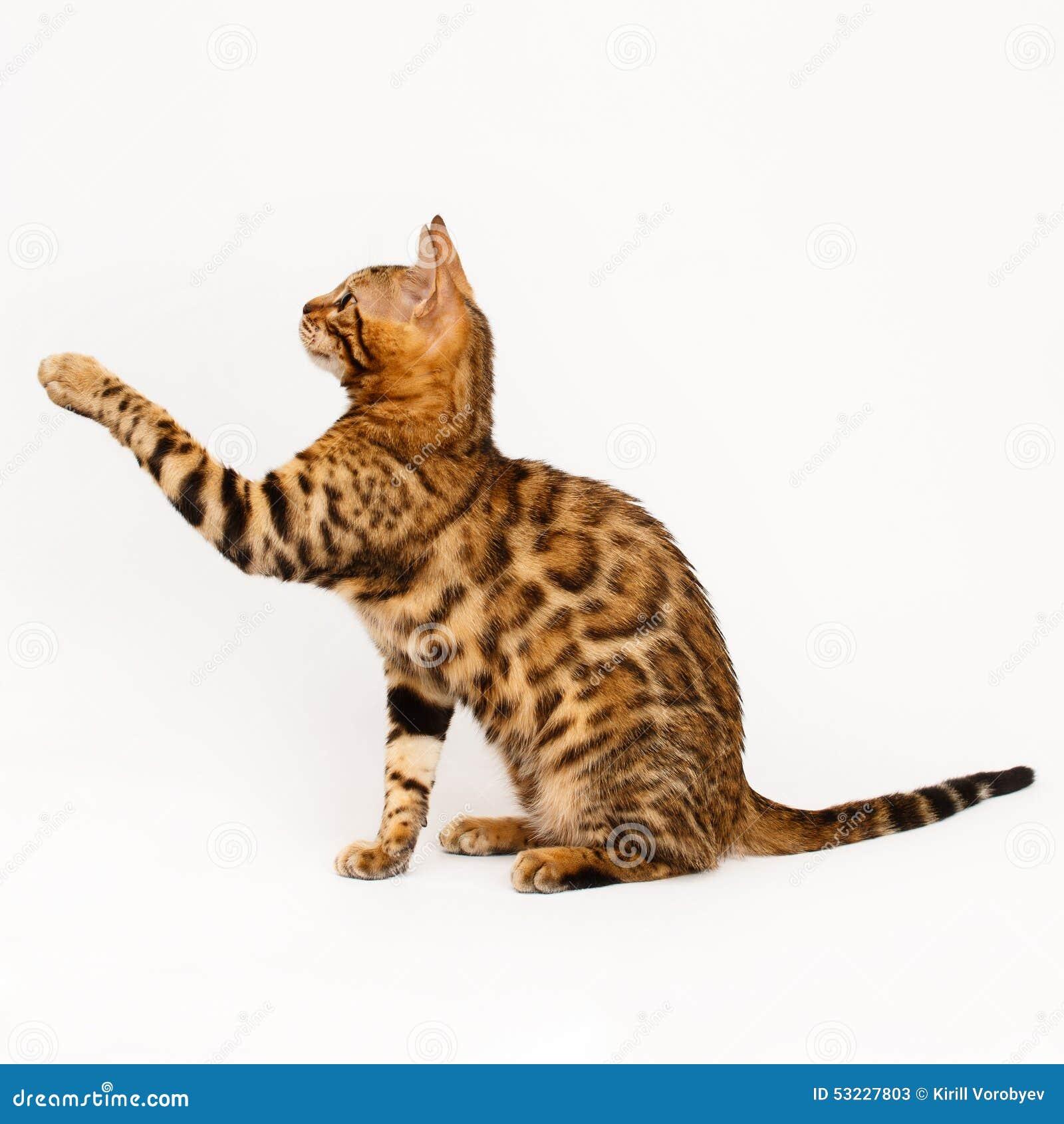 El jugar del gato de Bengala