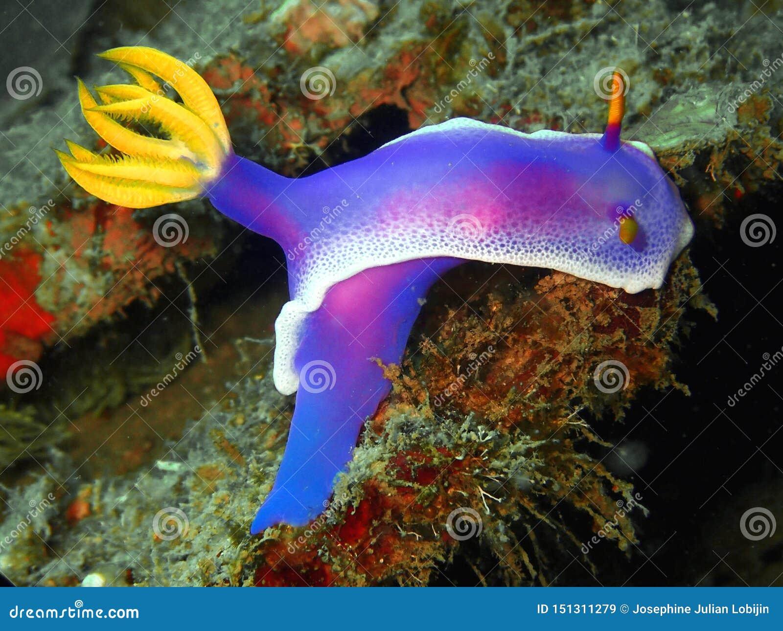 El kuniei de Goniobranchus del nudibranch en Tunku Abdul Rahman Park, Kota Kinabalu Sabah, Malasia borneo