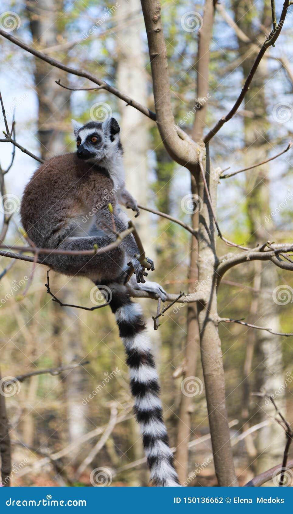 El lémur Anillo-atado se sienta solamente en un árbol