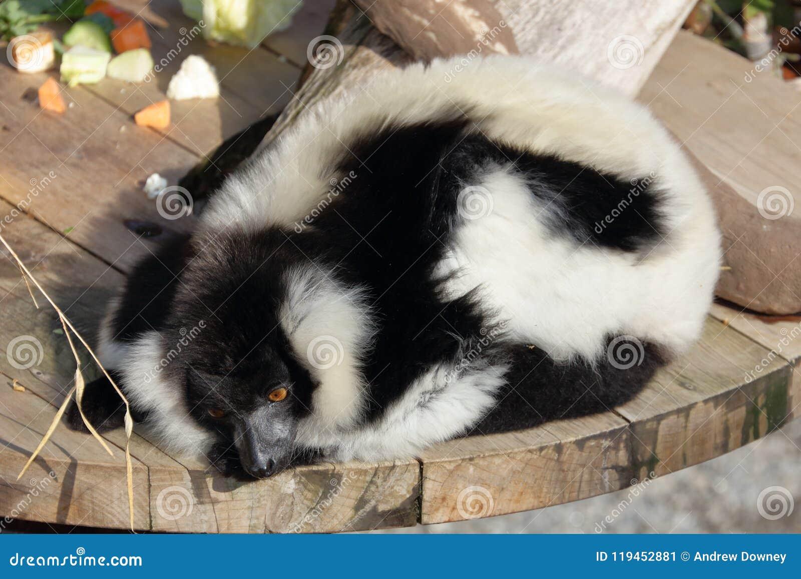 El lémur superado blanco y negro se relaja