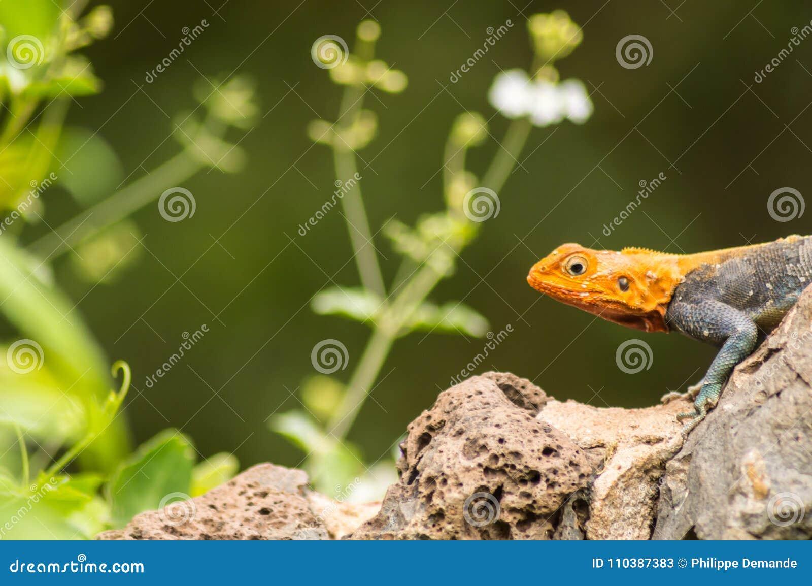 El lagarto llamó a colonos del agame en la sabana del parque de Amboseli adentro