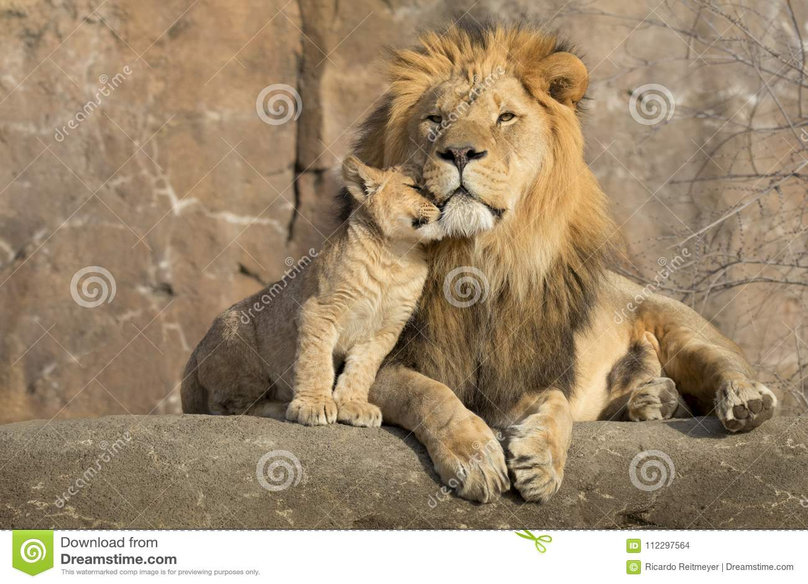El león africano masculino es abrazado por su cachorro durante un momento cariñoso